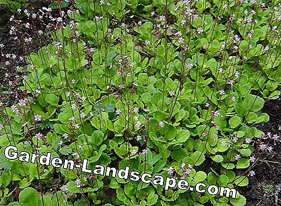 Moss-saxifrage - soin, propagation et coupe