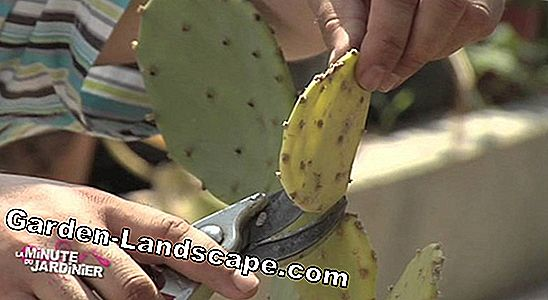 Greffage de cactus - Instructions pour le raffinement / la propagation