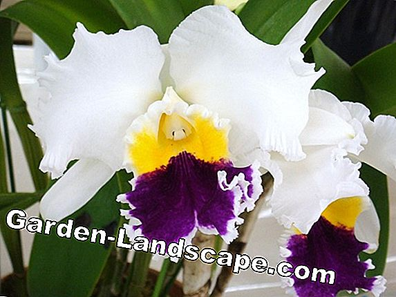 Cattleya Orchids - soin et rempoter correctement