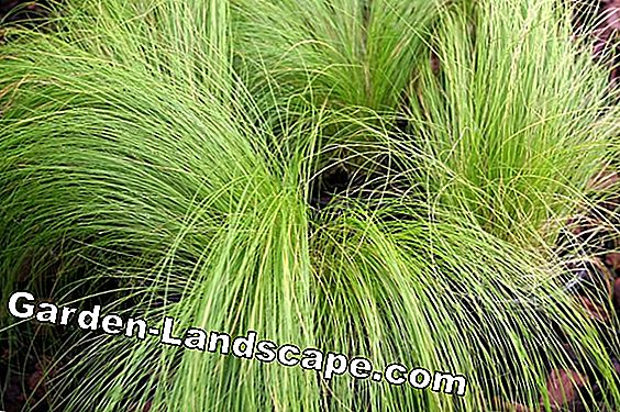 Plume d'herbe, Stipa tenuissima - soin et coupe
