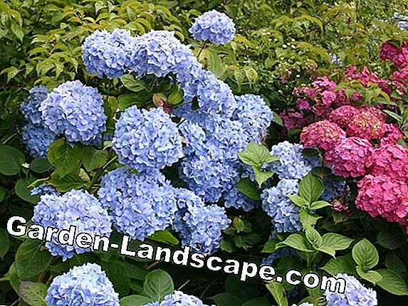 Hydrangea Endless Summer® - soin, localisation, coupe, élagage