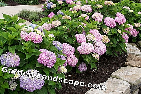 Hydrangea Endless Summer® - emplacement, soin et coupe