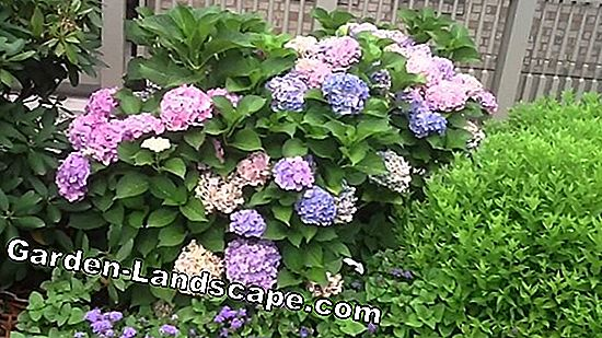 Hydrangea Forever and Ever® - soin et coupe