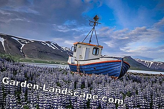 Lupins - Soins (Lupinus)