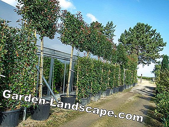 Photinia fraseri 'Red Robin' - soin et coupe