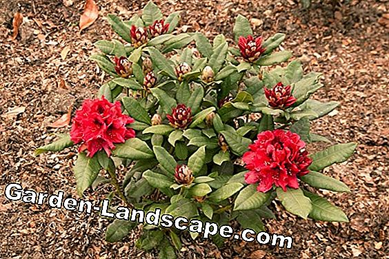 Rhododendron - maladies et ravageurs courants