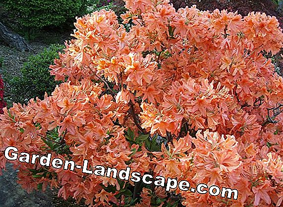 Rhododendron se multiplient