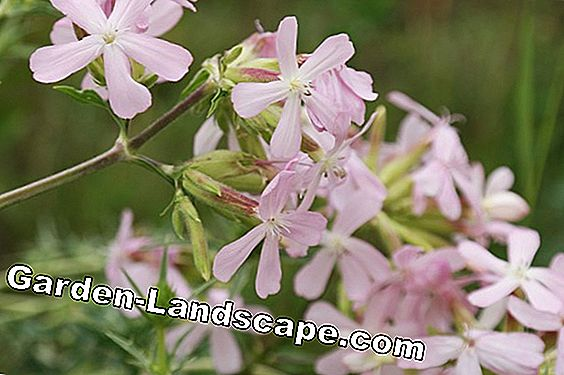 Saponaria officinalis - Plant & Care