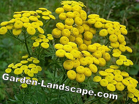 Tanaisie, Tanacetum vulgare - Wanted Poster, Plants & Care