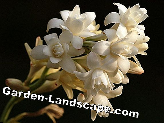Tuberose, Agave polianthes - plantes et soin