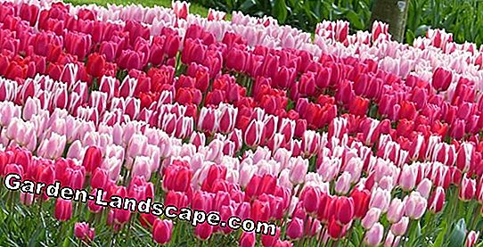 Bulbes de tulipes