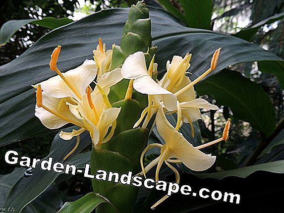 Gingembre d'ornement, Hedychium gardnerianum - Instructions d'entretien