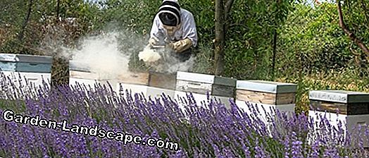 Apiculture: Attention