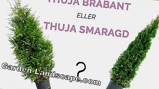 Thuja se multiplient - astuces et instructions