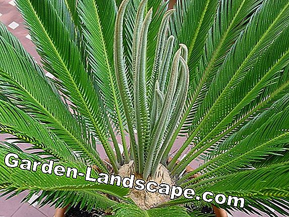 Palme - vrste (Washington, Palm Date Palm)