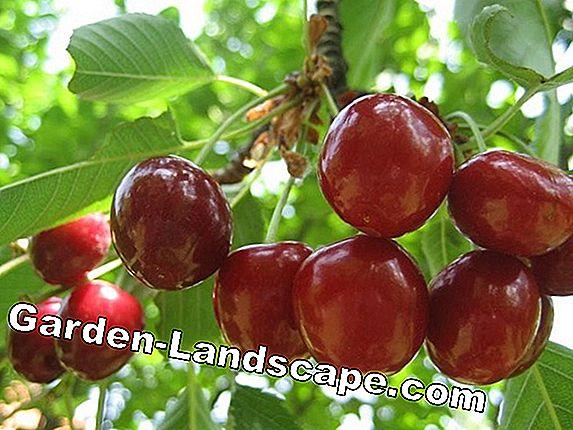 Hoćemo li trešnje kupovati na kilogram ili na komad? - Page 2 Best-cherry-laurel-varieties-for-hedges